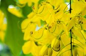image of cassia  - Close up Purging Cassia or Ratchaphruek flowers  - JPG