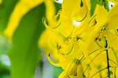 foto of cassia  - Close up Purging Cassia or Ratchaphruek flowers  - JPG