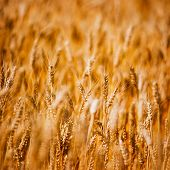 Agricultural Background Of Ripening Wheat