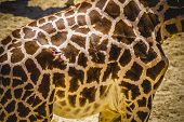skin, beautiful giraffe in a zoo park