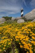 Yellow flowers with lighthouse in the background