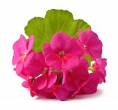 stock photo of geranium  - Red Geranium Pelargonium Flowers on white background - JPG