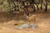 stock photo of blacktail  - Black - JPG
