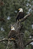 Two Eagles Perched.