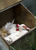 image of leghorn  - A Muscovy Duck and A White Leghorn Hen Sharing The Same Nestbox - JPG