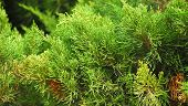 foto of pine-needle  - pine plant with green needle shape leaves