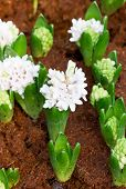 Young Hyacinth Flowers Grow In The Garden.