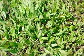 picture of sorrel  - Green plants close - JPG