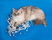 stock photo of pointed ears  - Siberian cat seal point lies with Christmas garlands on blue background - JPG