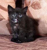 Tricolor Kitten Sitting On Sofa