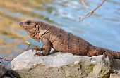 Iguana leaning on a rock