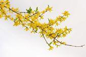 foto of sea-buckthorn  - Blossoming branch of sea - JPG
