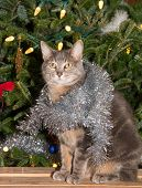 Blue tabby with silver tinsel sitting in front of a lit up Christmas tree