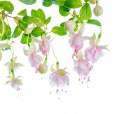 Blossoming Beautiful Delicate White With Pink Fuchsia, Isolated On White Background, ` Frank Unswort