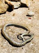 getöteten Schlange