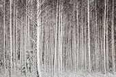 Snowy Trees In Forest