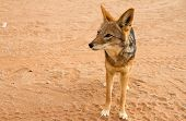 stock photo of jackal  - A wild jackal in the namibian desert - JPG