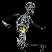 3D Render Medical Illustration Of The Human Stomach