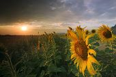Close Up Of Yellow Sunflowers Petal Blooming In Agriculture Field With Beautiful Sun Set Light And C