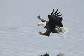 pic of fish-eagle  - A bald eagle swoops in to the water to catch a fish - JPG