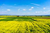 picture of rape-seed  - aerial view rural landscape with blooming rape at the north Greece - JPG