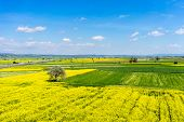 stock photo of rape-seed  - aerial view rural landscape with blooming rape at the north Greece  - JPG