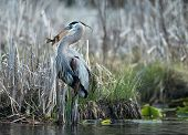 stock photo of bluegill  - A great blue heron with a fish - JPG