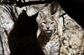 stock photo of bobcat  - closeup of a bobcat with what appears to be his shadow in front of him but it is another bobcat standing in the shade - JPG