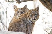 stock photo of bobcat  - close up of two wild bobcats in bright desert sunshine staring at the camera - JPG