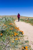 picture of antelope  - Trail thru the field covered in spring flowers in Antelope Valley California Poppy Preserve - JPG