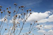 pic of scottish thistle  - dry thistle against the blue sky with white clouds - JPG