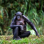 Bonobo With A Cub.