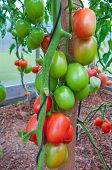 stock photo of tomato plant  - Tomatoes plant in the greenhouse  - JPG