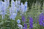 pic of diarrhea  - The Delphinium is a genus of the family Ranunculaceae Ranunculaceae