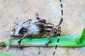 stock photo of longhorn  - insect from Thailand - JPG