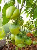 stock photo of tomato plant  - Great bull heart tomato - JPG