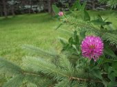 stock photo of red clover  - Red clover next to the spruce - JPG
