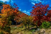 picture of maple tree  - Blue Skies with Brilliant Red and Orange Fall Foliage on the Maple Trees at Lost Maples State Park - JPG