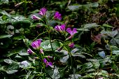 stock photo of sorrel  - Violet Wood Sorrel  - JPG