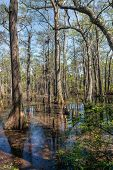 pic of swamps  - Bald Cypress trees in the swamps of First Landing State Park located in Virginia Beach Va - JPG