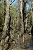picture of virginia  - Bald Cypress trees in the swamps of First Landing State Park located in Virginia Beach Va - JPG