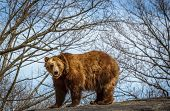 picture of bear  - Grizzly bear  on rock against sky and early Spring trees - JPG
