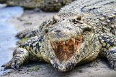 picture of alligator baby  - Nile crocodile close - JPG