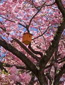 foto of nesting box  - A wooden nesting box hangs in a pink blooming Japanese Cherry  - JPG