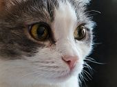image of minion  - A portrait of a grey and white cat - JPG