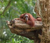 image of orangutan  - Adult orangutan resting on tree trunk with jungle as a background - JPG