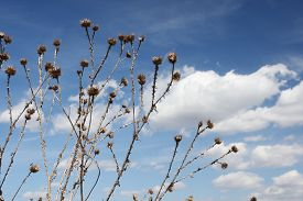 image of scottish thistle  - dry thistle against the blue sky with white clouds - JPG