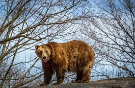 pic of grizzly bear  - Grizzly bear  on rock against sky and early Spring trees - JPG
