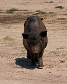 Vietnamese pig in Crimea Ukraine
