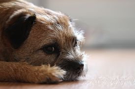 stock photo of border terrier  - This dog has a nice guiltless look in her eyes and she - JPG